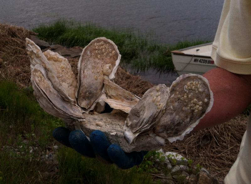 Three-year-old oysters that were killed by one of two invasive European diseases
