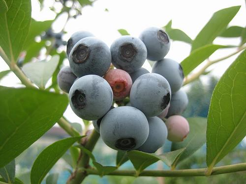 Blueberries are picked and turned into jam at Apple Hill Farm in Concord.