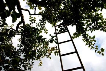 An apple tree ladder left on a tree.