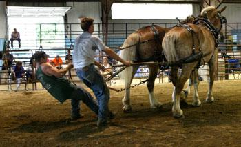 The draft horses are pulled into place.