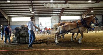 The draft horses lunge to pull the cement blocks.