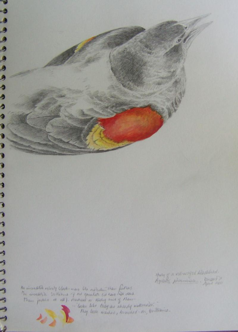 Study of a Redwing Blackbird, pencil and watercolor; sketchbook page