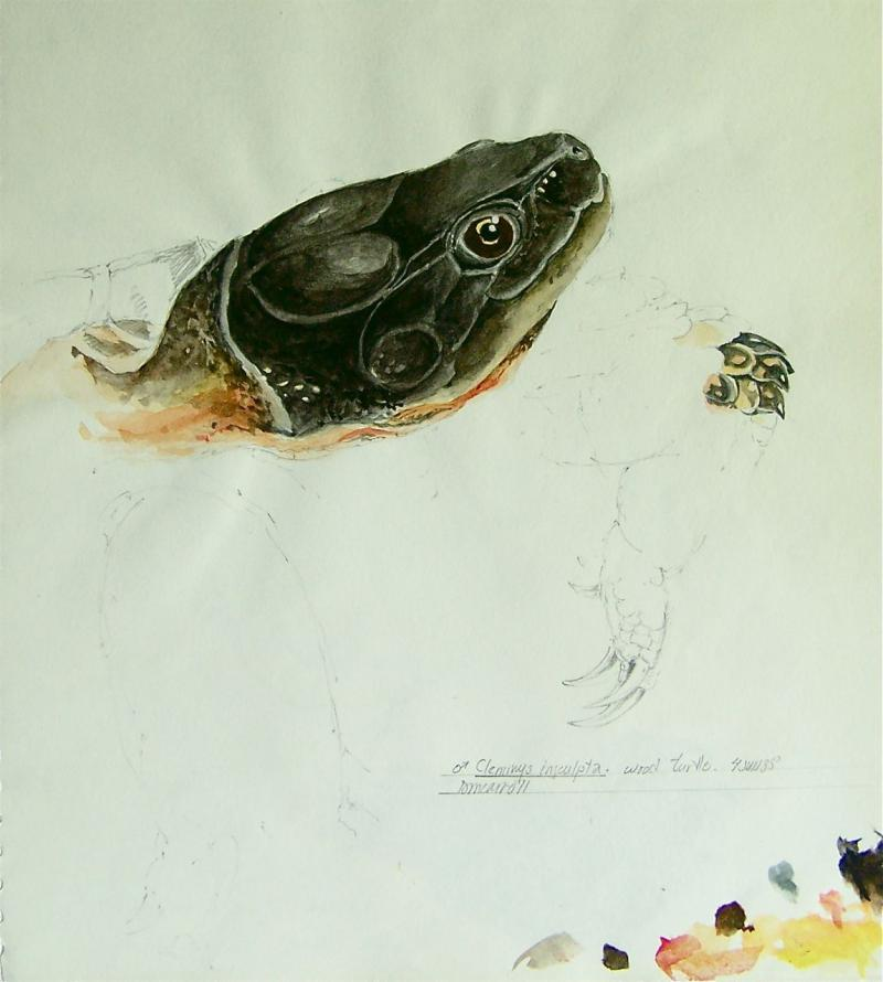 Study of a Wood Turtle, pencil and watercolor