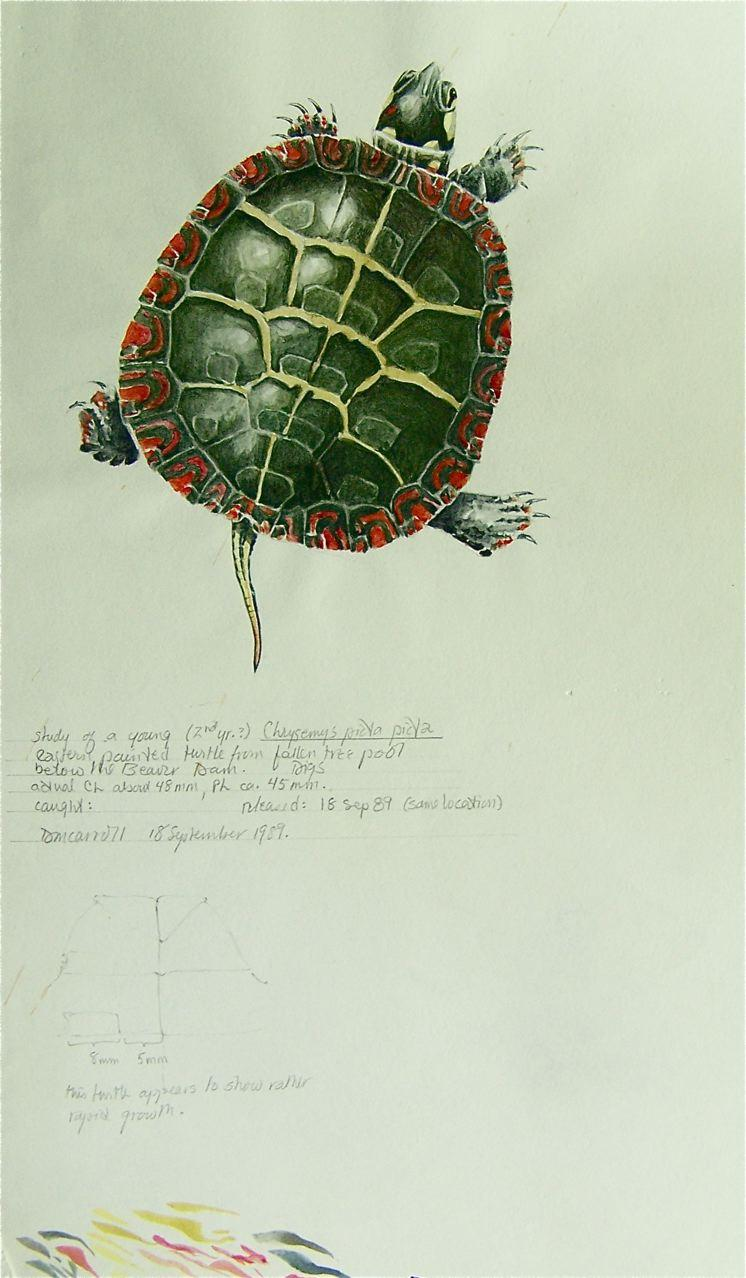 Study of a Young Painted Turtle, watercolor