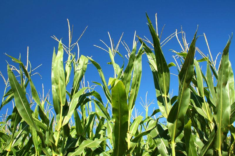 Biofuels (or agrofuels) can be a carbon-neutral energy source, but the overall process of producing them is far from carbon neutral, given the substantial amount of fossil fuels expended in growing, harvesting, processing and distributing them.