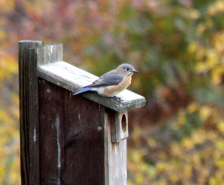 Bluebirds reside in tree cavities or manmade nestboxes.