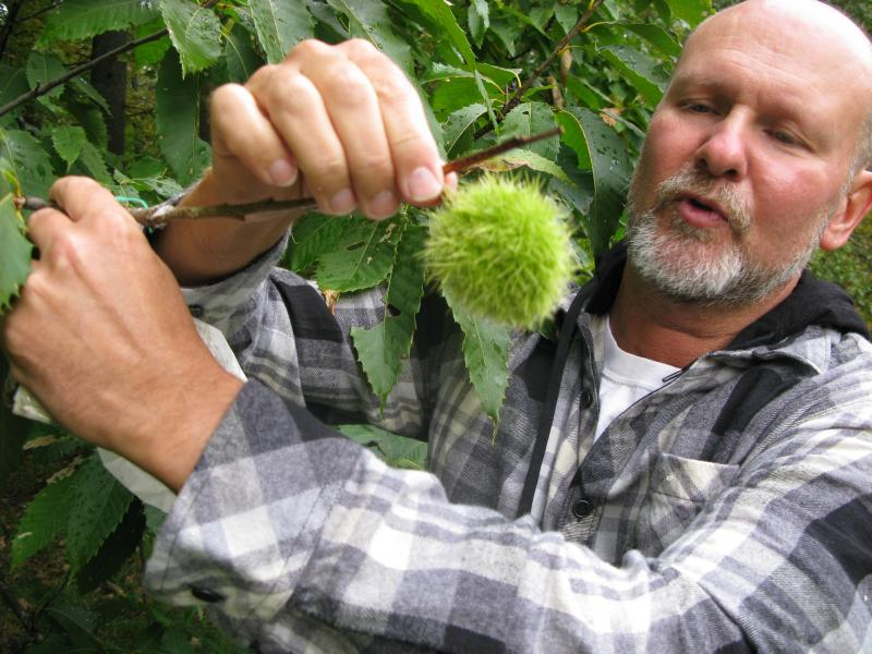 Todd Ross, a volunteer for the NH chapter of the American Chestnut Foundation, shows off a healthy, wild, naturally polinated chestnut burr