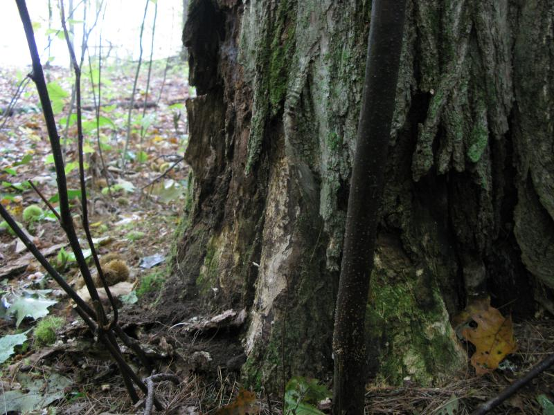 "The base of the ""NH Champion"" chestnut, the largest surviving tree in the state. Bark falls away where the the blight has infected the tree's cambium ."