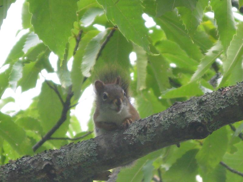American chestnuts have to contend with competition that European nuts don't face: a healthy population of squirrels. Folk-lore says that many chestnut trees are sprouted from nuts that squirrels stashed for the winter and forgot.