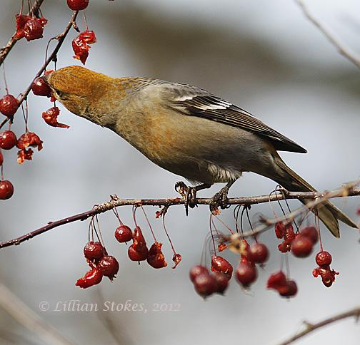 Pine Grosbeak.