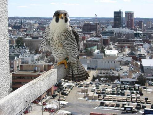 Male peregrine, banded by Chris in 2000. He came from a nest at Cathedral Ledge near North Conway, NH, and has lived in Manchester since January '01. Now 13 years old, he has helped raise all 35 peregrines fledged from this urban breeding territory.