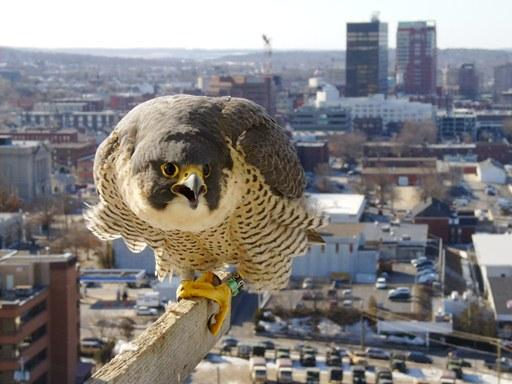 Female peregrine, mate to the male. The female, now 8 years old, hatched in 2005 on a building in Worcester, MA.  She showed up in Manchester as an 8-month old in January 2006.