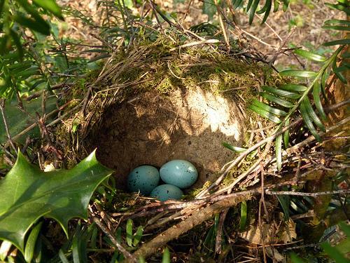 Songbird nest found in Great Britain.