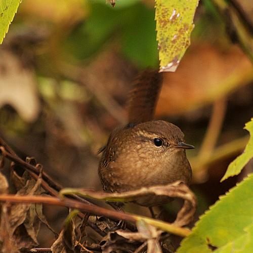 small bird  big song