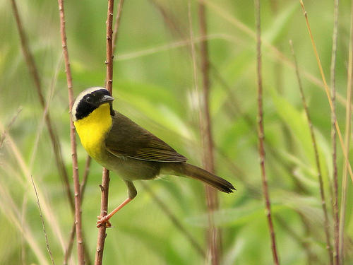 "Common Yellowthroat. The translation of their call in most field guides is, ""Witchedy, witchedy, witch."""