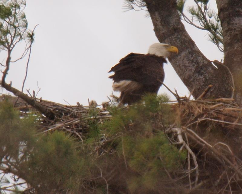 Bald eagle adult with its two eaglets in a Manchester white pine.