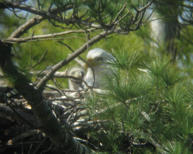 The Audubon confirmed the presence of the eaglets on the town line between Nashua and Merrimack shortly after the discovery of the Manchester eaglets.