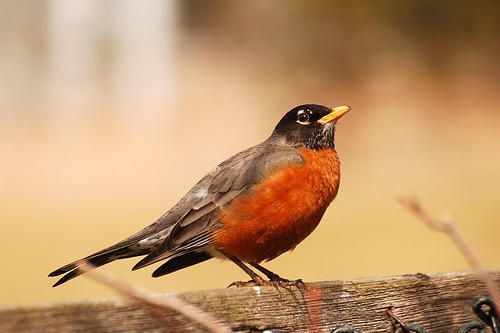 "American Robin. Their whistled song is often translated as, ""Cheer up. Cheerily. Cheerio."""