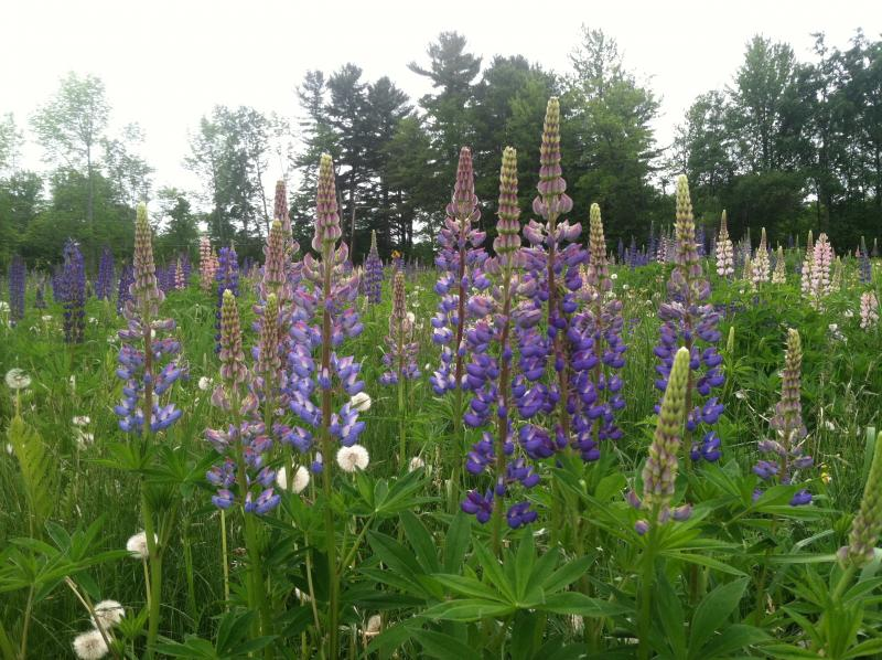 The lupines were in bloom at the festival.