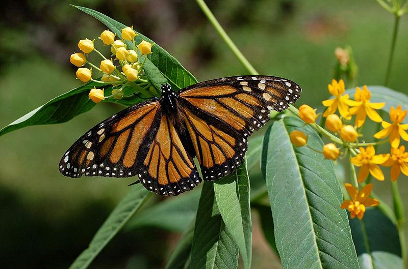 Monarch Butterfly on a Mexican Milkweed