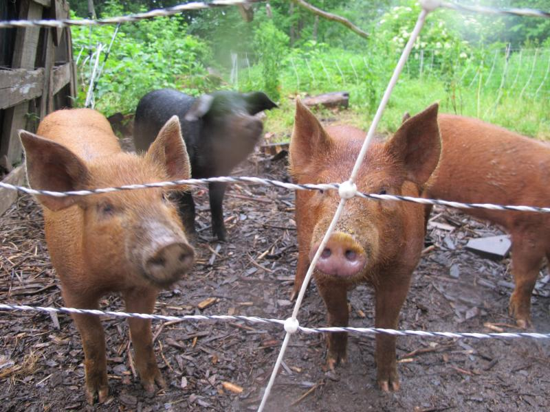 Pigs at Pheonix Hill Farm in Boscawen, where Ryan Ferdinand and Mike Hvizda live and work.