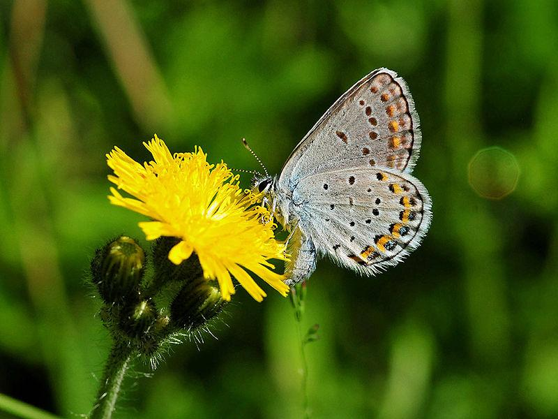 Karner Blue Butterfly, New Hampshire's state butterfly