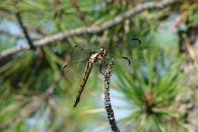 A female Slaty Skimmer.