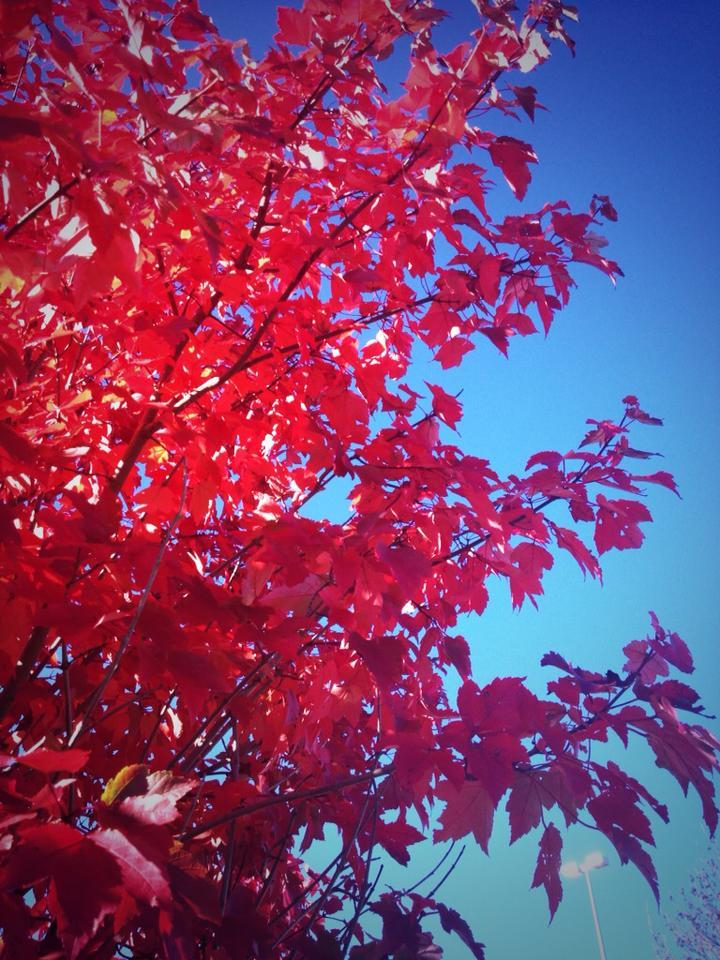 Some Seriously Red Leaves in Concord