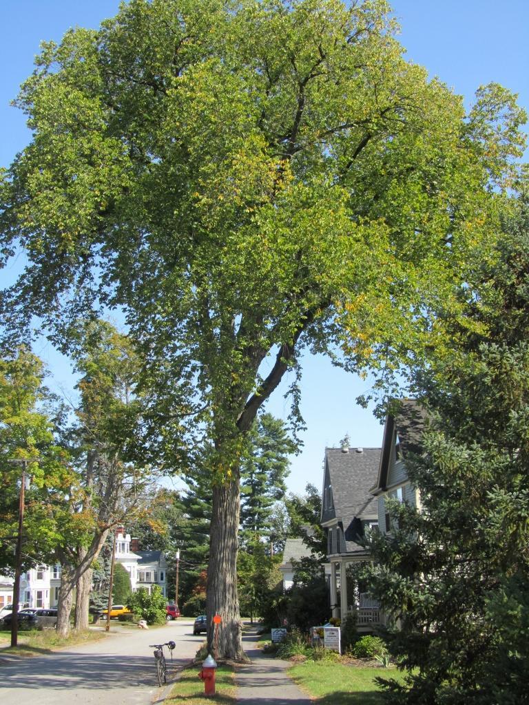 Siberian Elm in Concord