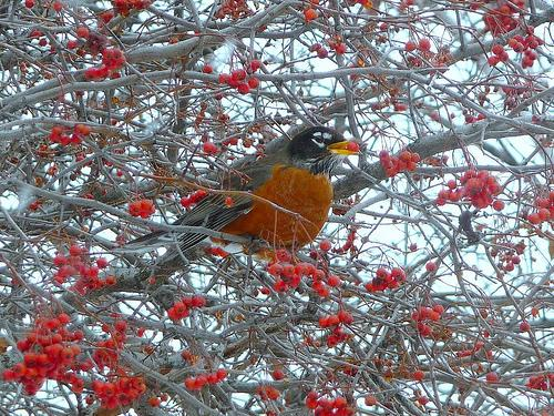 A robin feasts on ash berry.