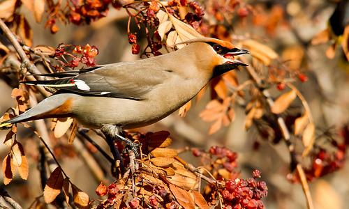 The bohemian waxwing.