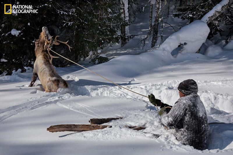 A lassoed elk struggles after Serik demonstrates the age-old technique of capturing game in deep snow. China bans elk hunting, so the animal was freed.