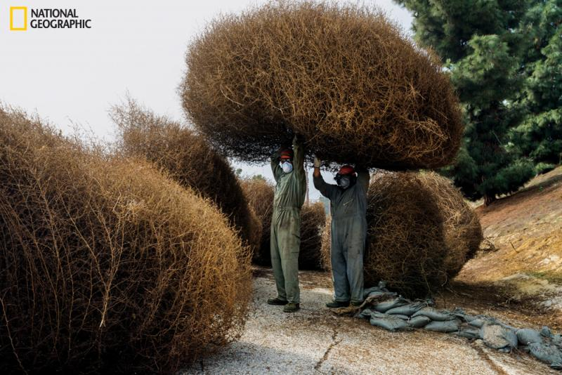 A crew removes tumbleweeds the size of compact cars from a slope in East Los Angeles. Bone dry and filled with air pockets, dead weeds can be ignited by a discarded cigarette—a hazard worsened by persistent drought.