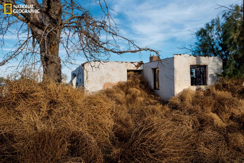 Tumbleweeds have trouble taking root in cultivated lawns. An abandoned house near Lancaster is easy game.