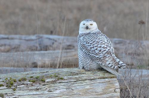 Snowy owl (Bubo scandiacus) as seen along the Boundary Bay Dyke Trail.