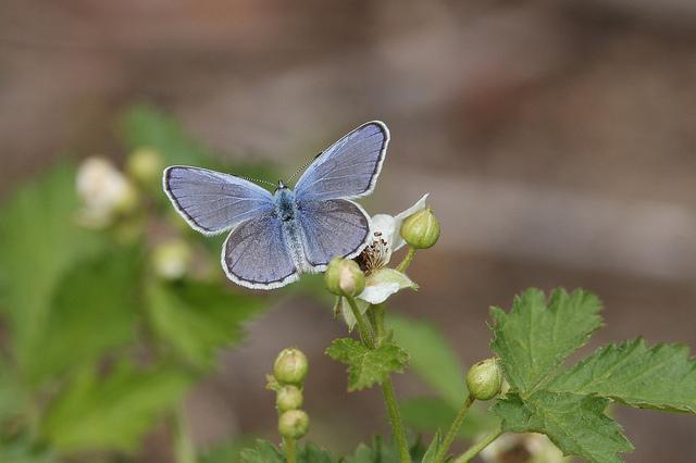 Karner Blue Male