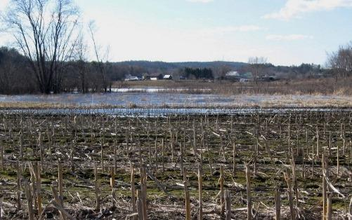 A flooded cornfield in Penacook.