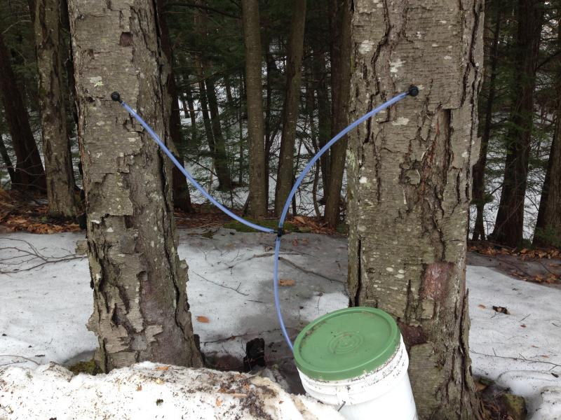 Two black birch trees tapped for its sap. After condensing, before sugar is added, Ashworth says it tastes a bit like tar.