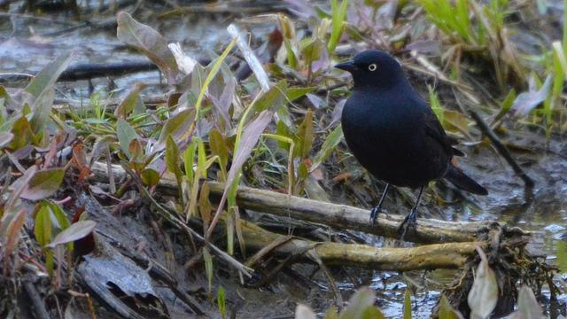 The Rusty Blackbird.