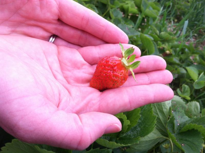 Kristen Stevens holds one of the strawberries she just picked.