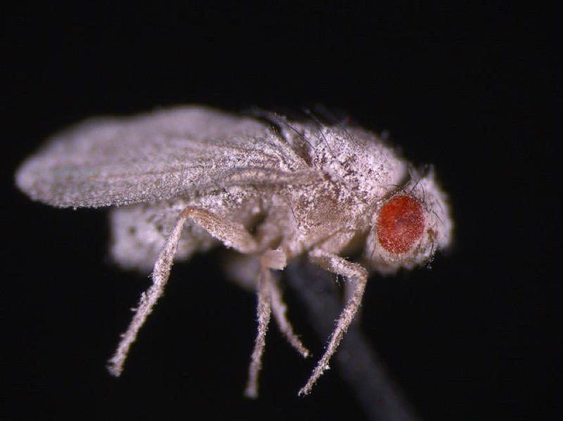 A fruit fly infected with fungus. Fruit flies that developed in space showed weakened immunity to fungal infections post-spaceflight.