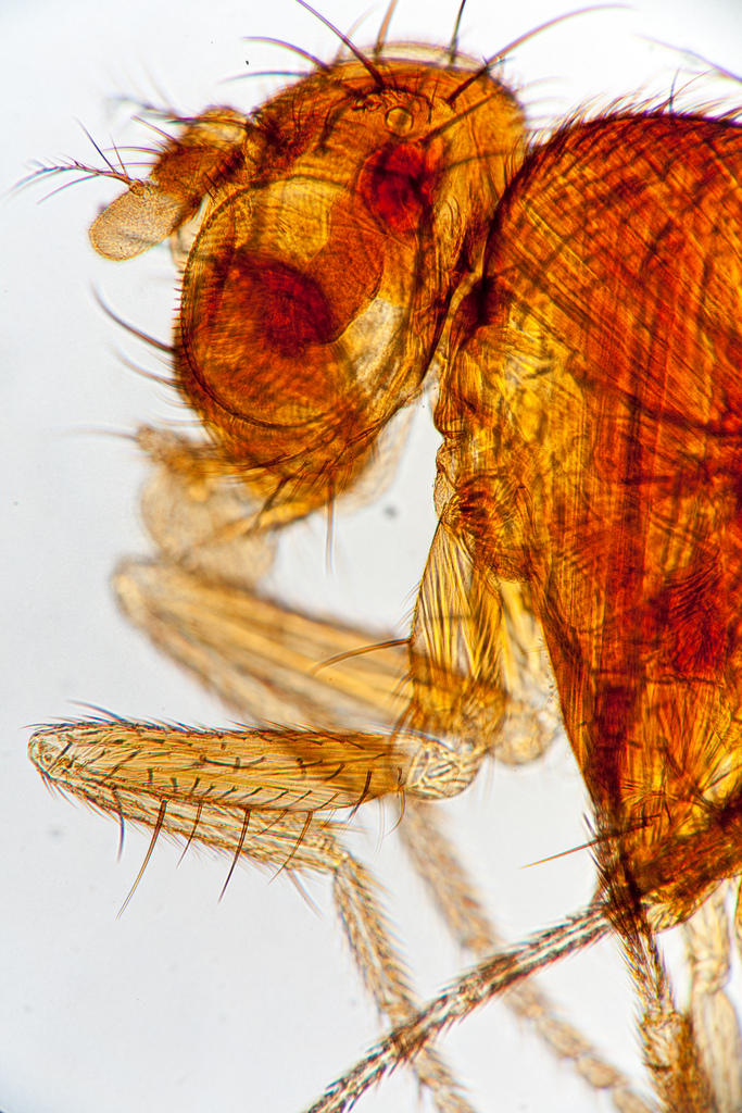Microscopic view of fruit fly head and thorax