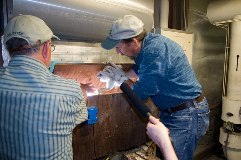 Chris carefully removes the Peregrine chick from the nest box.