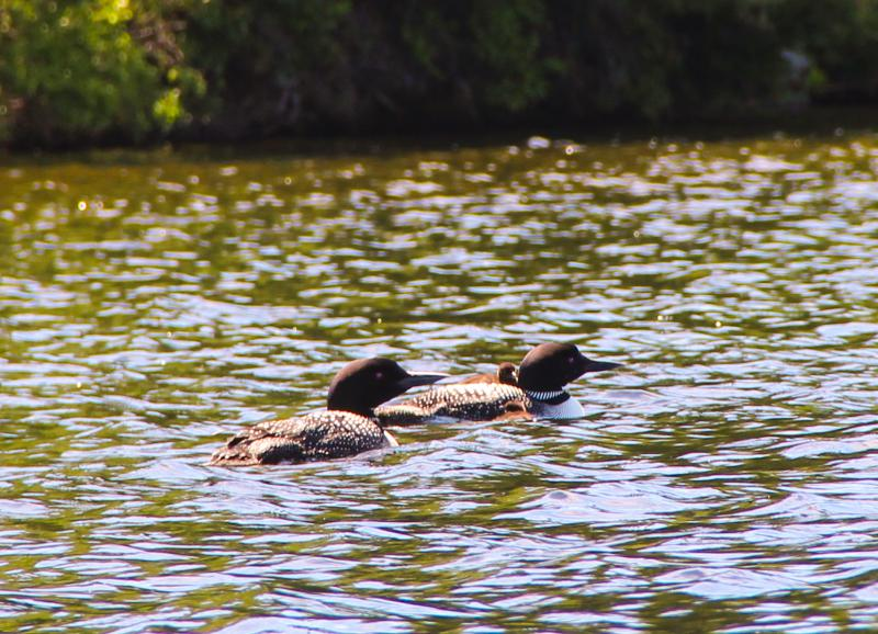 Two loons and their chick.