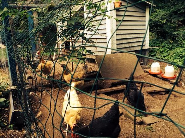 "from Jim: ""Only thing worse than having a coop and being allergic to eggs is my kids not letting me eat the birds"""