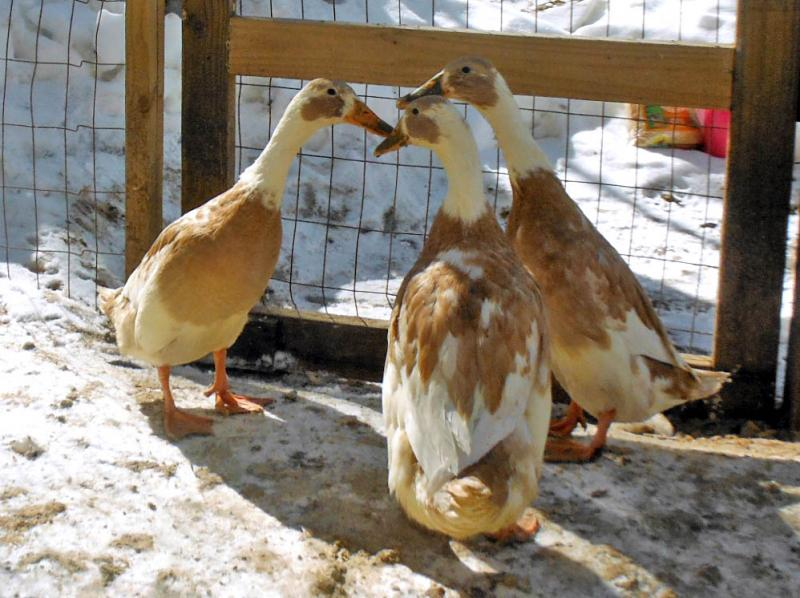 "Jon's Khaki Campbell-Indian Runner ducks: ""I have seven chickens, but these guys are my favorite. They walk nearly upright and like to party when there's a full moon."""