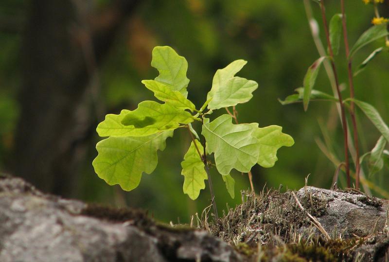 A young oak tree.