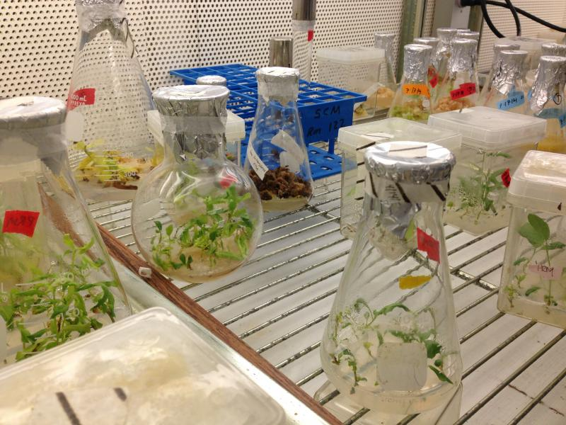Some genetically altered plants growing in growth mediums in a temperature-controlled room in UNH's Rudman Hall.