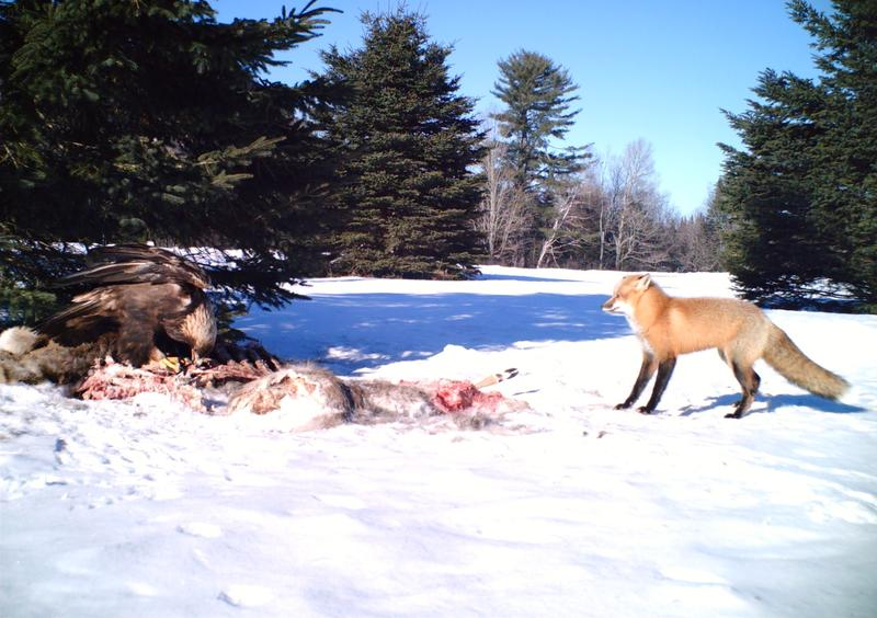 A fox encounters a golden eagle in the North Country on 2.7.13