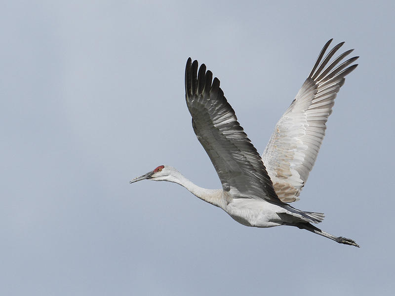 Sandhill crane on the wing, spotted near Durham, NH.